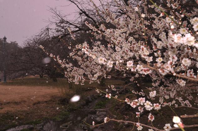 梅花と吹雪