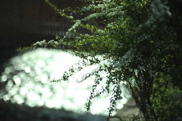 雪柳/白川