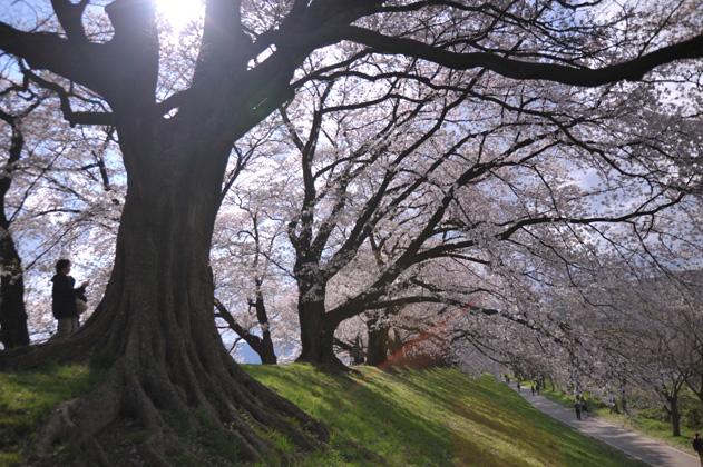 桜並木と木漏れ日と。