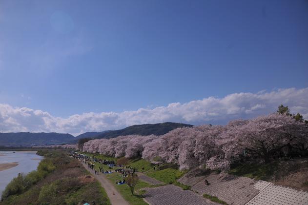 桜並木と木津川と。
