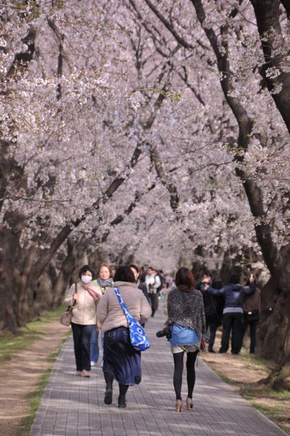 桜並木と後姿と。
