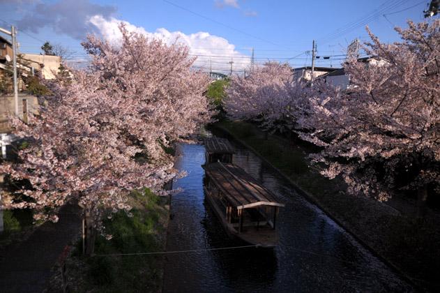 桜並木と十石舟と。