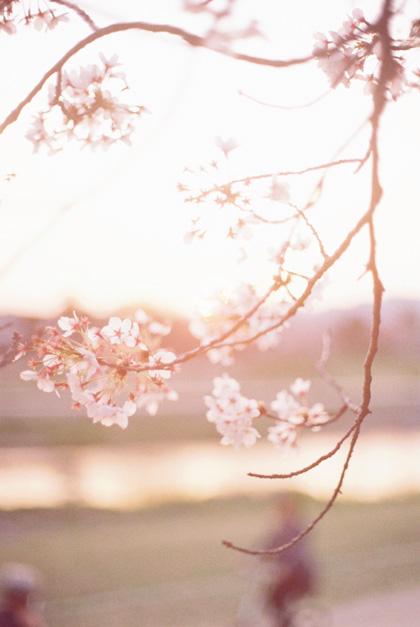 桜色の夕暮