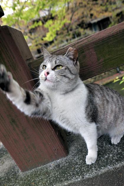 猫と遊ぶ/近江八幡