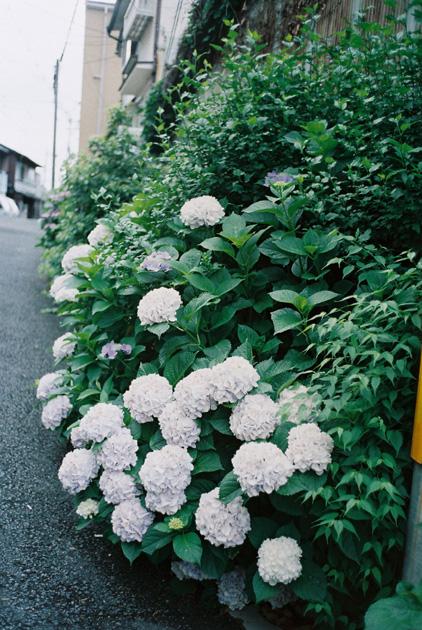 路傍/紫陽花
