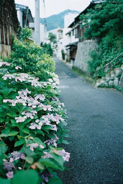 路傍の紫陽花
