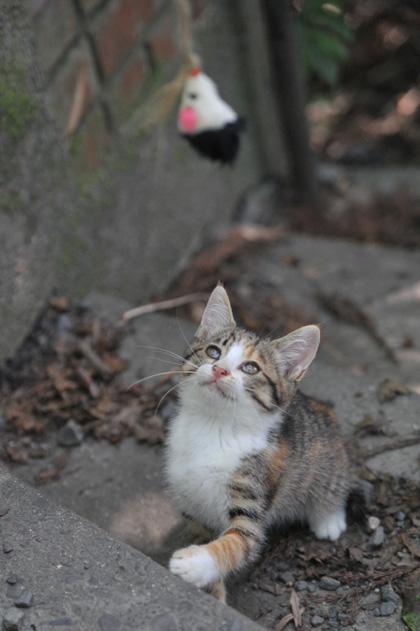 猫じゃらしと三毛仔猫
