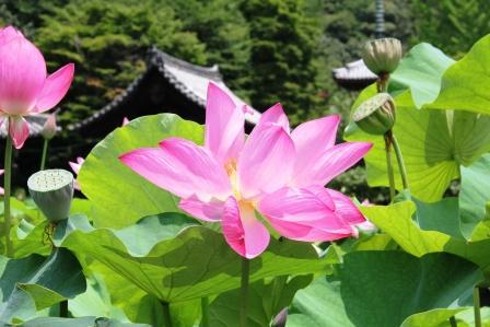 三室戸寺の蓮_H26.07.15撮影