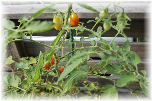 20140727ミニトマト