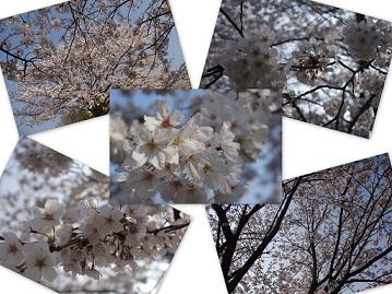 2014-03-27 中尾城公園桜