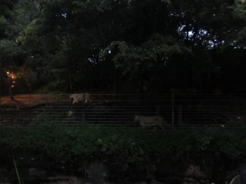 夜ライオンDSCF1001
