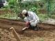 ダイコンの畝を整地するジイ