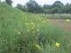 池の土手のユウスゲの群生