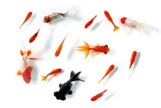 山河句会お題「金魚」のイラスト
