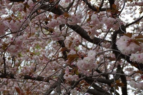 満開の牡丹桜