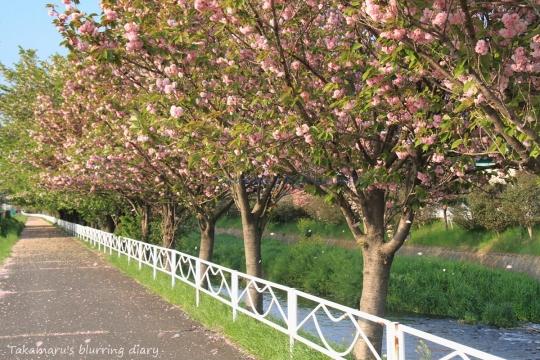 近所の八重桜