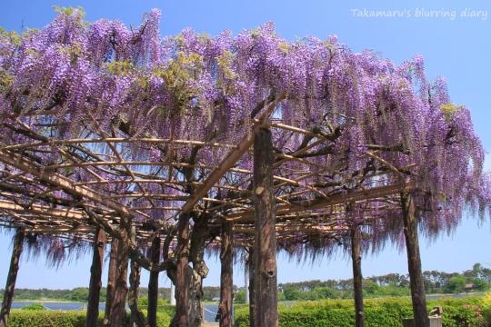 多々良沼 浮島弁財天の藤棚