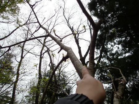 大きなコシアブラ