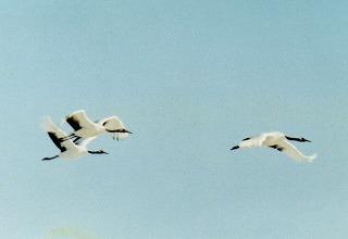 11飛ぶ鶴