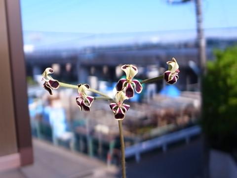 20140622_Pelargonium pulverulentum