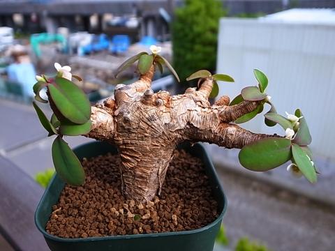20140622_Euphorbia itremensis