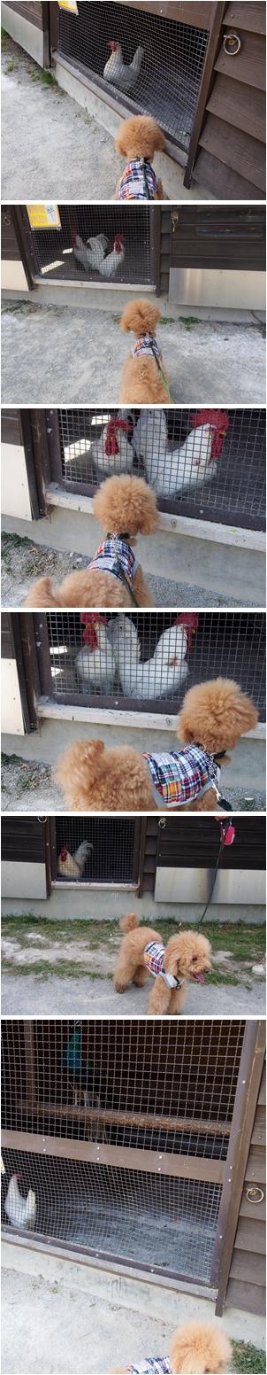 鶏とチャ太郎