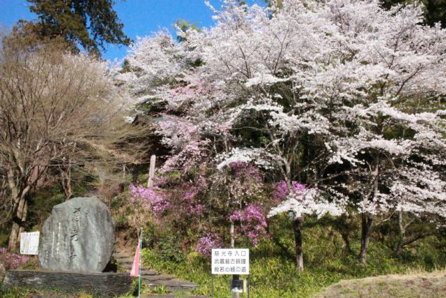 26慈光寺桜