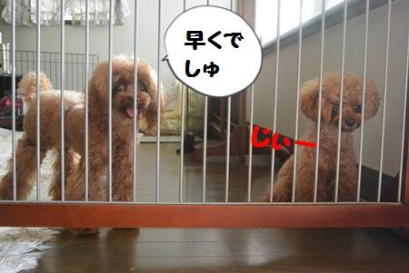 http://teacuppoodlelove.blog.fc2.com/