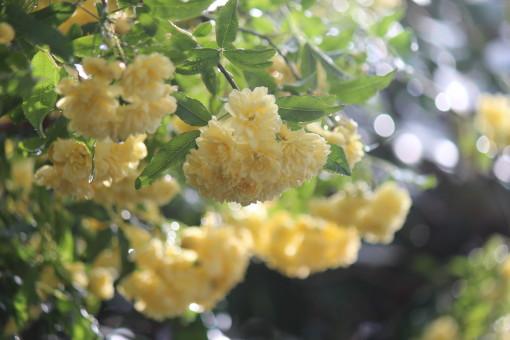 黄モッコウバラ0001_1