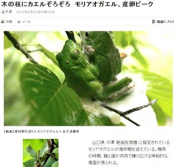 news木の枝にカエルぞろぞろ モリアオガエル、産卵ピーク