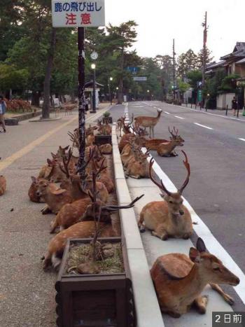 奈良県】鹿の大群が道路を封鎖する事