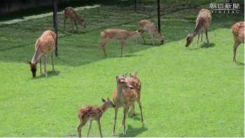 news奈良)子鹿たち、公園デビュー2