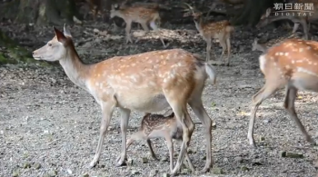 news奈良)子鹿たち、公園デビュー3