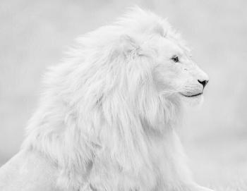 画像】 「ホワイトライオン」 神々しすぎて