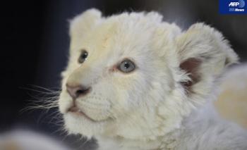 ウインクするホワイトライオンの赤ちゃん