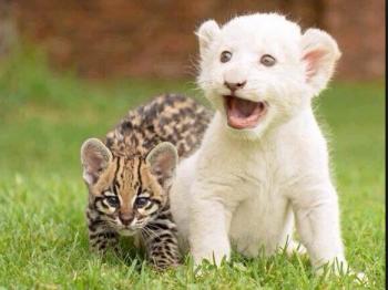 ホワイトライオンの赤ちゃんの横にいるチ