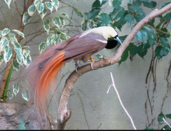 アカカザリフウチョウ(極楽鳥) ー マイリト2