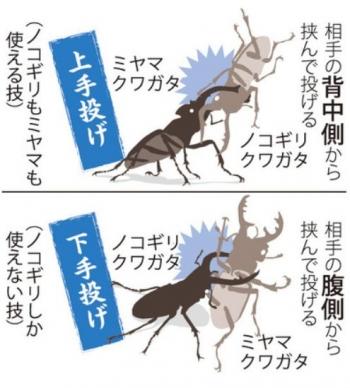 news<ミヤマクワガタ>環境変化で急減 「ノコギリ」に敗れる?2