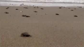 news大きく育てよ、荒海へ旅立ち 宮崎の海岸でアカウミガメ2