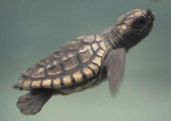 アカウミガメの赤ちゃんの写真(画像) 写真ID19