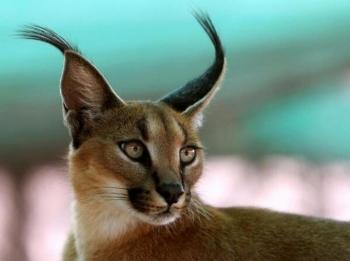 tweet 耳毛がオシャレ?野生の猫『カラカル』が