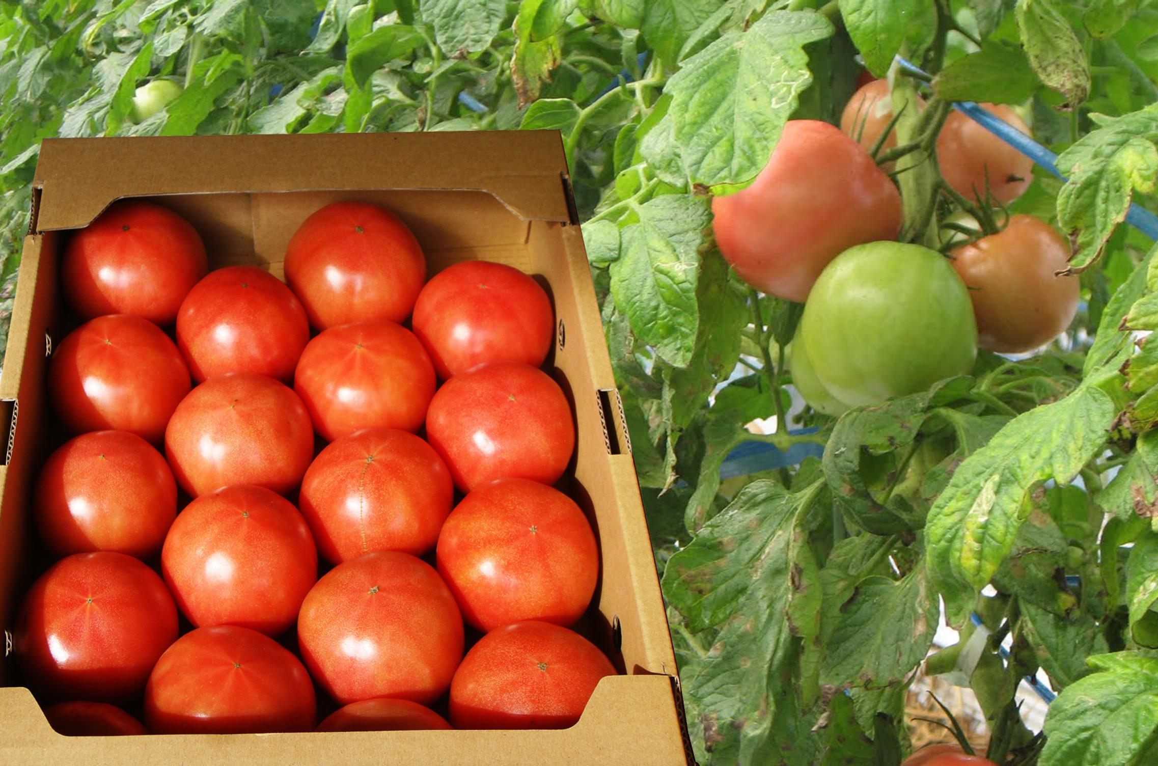 tomato合成