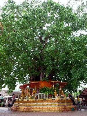 見上げるような菩提樹