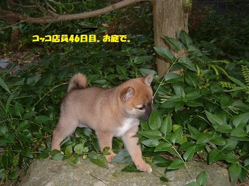 コッコ46日目