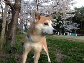 桜とライチ
