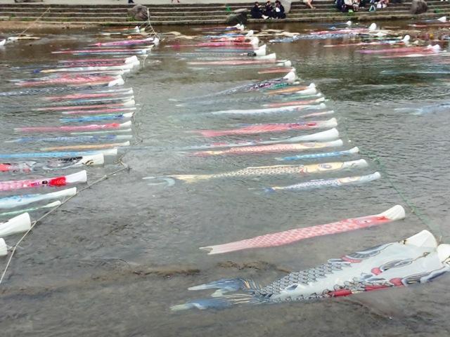 浅野川 鯉のぼり~~