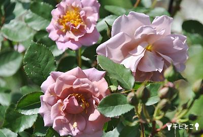 お気に入りのバラ(#^m^#)