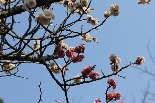 二色咲き梅
