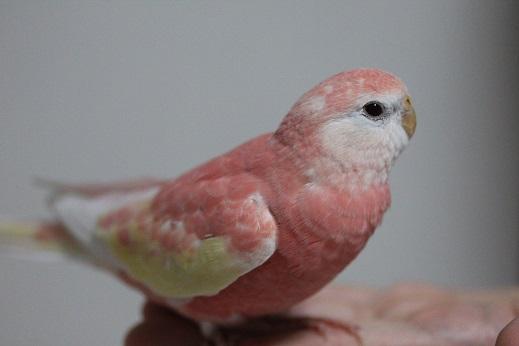 モデル鳥なの