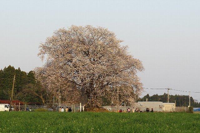 otubo_yamasakura001.jpg